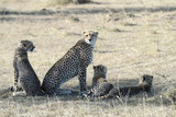 CHEETAH CUB Photo - March 6 2016 New York CityCheetah and cubs in Maasai Mara National Reserve on March 6 2016 in KenyaCredit Kristin Callahan